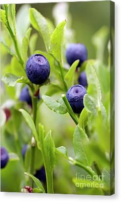 Blueberry Shrubs Canvas Print by Michal Boubin