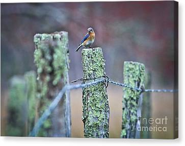 Canvas Print featuring the photograph Bluebird 040517 by Douglas Stucky