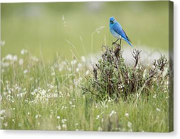 Bluebird Canvas Print by Andrew Wells