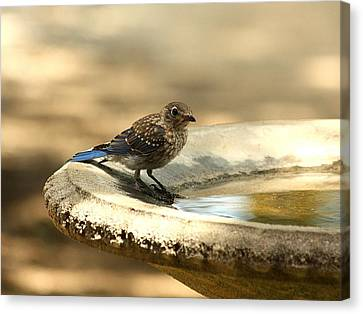 Canvas Print featuring the photograph Bluebird Bath Time by Sheila Brown