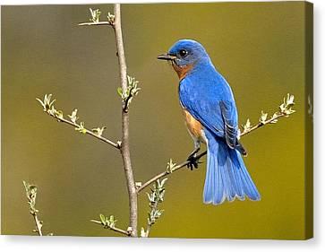 Bluebird Bliss Canvas Print