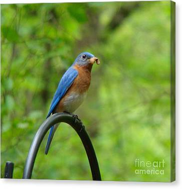 Canvas Print featuring the photograph Bluebird Catches Worm by Rand Herron