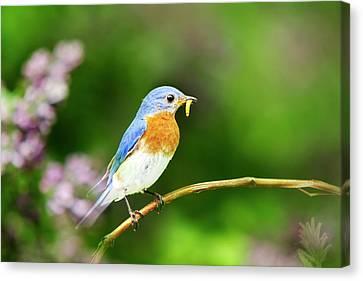 Bluebird Canvas Print by Christina Rollo