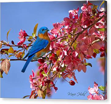 Bluebird In Apple Blossoms Canvas Print