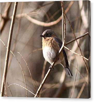 Bluebird In Beige Canvas Print