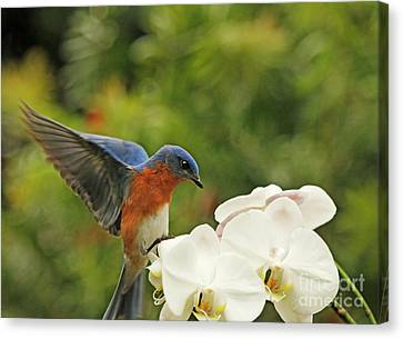 Bluebird Landing On Orchid Canvas Print