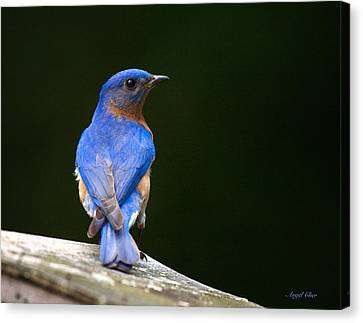 Bluebird Male Canvas Print by Angel Cher