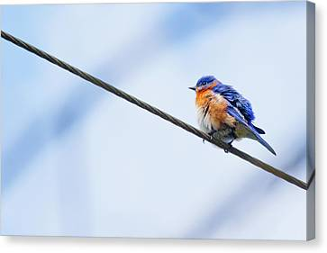 Canvas Print featuring the photograph Bluebird Of Happiness by Linda Unger