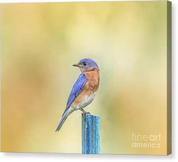 Bluebird On Blue Stick Canvas Print by Robert Frederick
