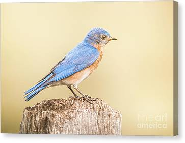 Canvas Print featuring the photograph Bluebird On Fence Post by Robert Frederick