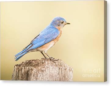Bluebird On Fence Post Canvas Print by Robert Frederick