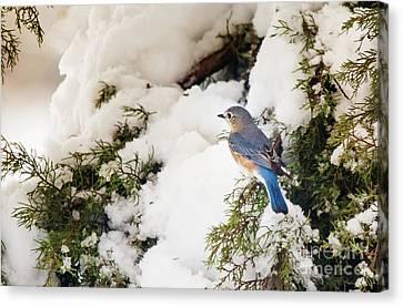 Bluebird On Snow-laden Cedar Canvas Print by Robert Frederick