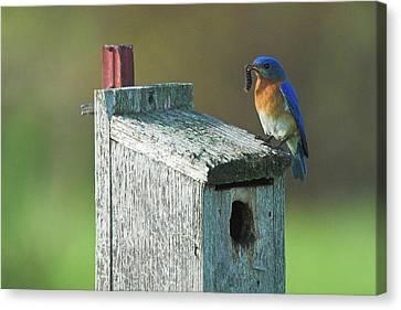 Canvas Print featuring the photograph Bluebird by Steve Stuller