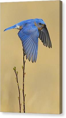 Bluebird Takes Flight Canvas Print