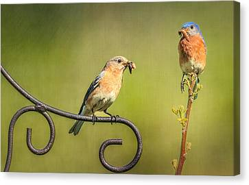 Bluebirds Gather Food For Chicks Canvas Print