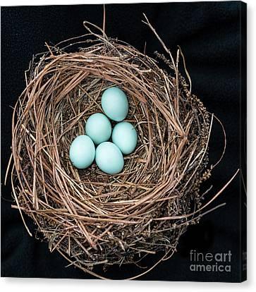 Bluebird's Nest Canvas Print