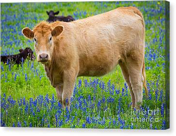 Bluebonnet Cow Canvas Print by Inge Johnsson