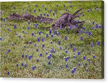 Bluebonnets And Fallen Tree - Texas Hill Country Canvas Print by Brian Harig