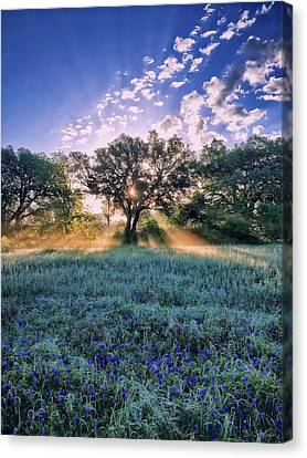 Bluebonnets Canvas Print