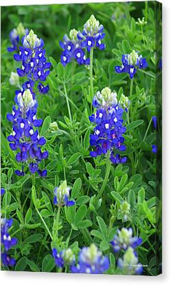 Bluebonnets II Canvas Print