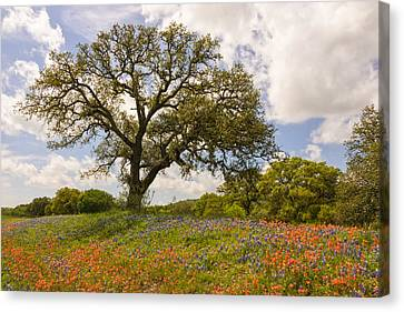 Indian Yellow Canvas Print - Bluebonnets Paintbrush And An Old Oak Tree - Texas Hill Country by Brian Harig