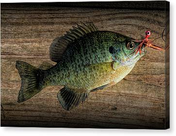 Bluegill Panfish Caught With A Jig Canvas Print by Randall Nyhof