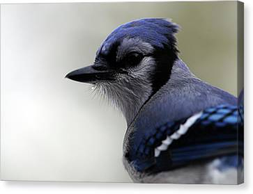 Canvas Print featuring the photograph Bluejay by Mike Martin