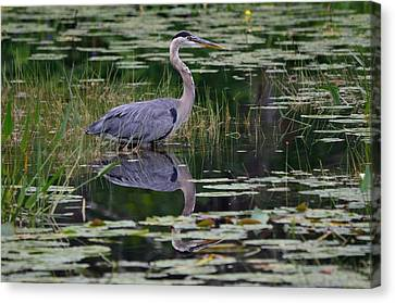Blue's Image- Great Blue Heron Canvas Print