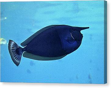Bluespine Unicorn Fish Canvas Print