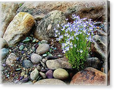 Bluets Among The River Rocks Canvas Print