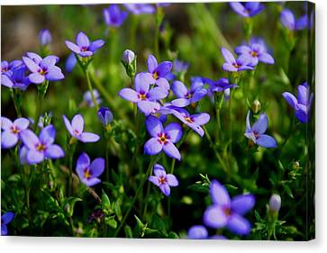 Canvas Print featuring the photograph Bluets by Kathryn Meyer
