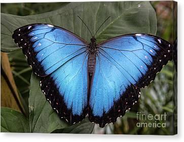 Blue Morph Canvas Print