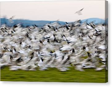 Blurry Birds In A Flurry L467 Canvas Print by Yoshiki Nakamura