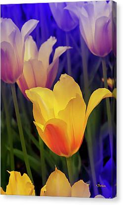 Blushing Tulips Canvas Print
