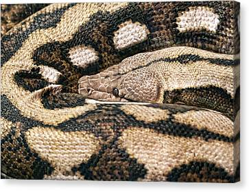Boa Constrictor Canvas Print by Tom Mc Nemar