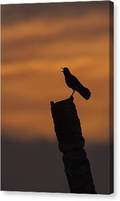 Boat-tailed Grackle At Sunset Canvas Print