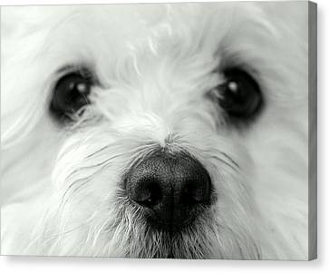 Bobbles The Bichon Canvas Print