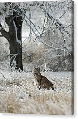 Bobcat And Heavy Frost Canvas Print by Gary Langley
