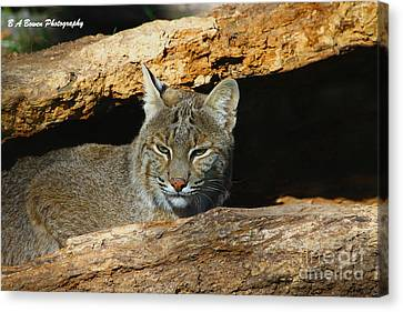 Bobcat Hiding In A Log Canvas Print