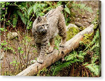 Bobcat In Forest Canvas Print by Teri Virbickis