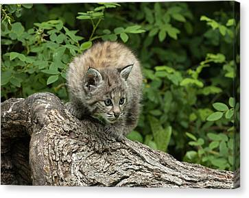 Bobcat Kittens Canvas Print - Bobcat Kitten Exploration by Sandra Bronstein