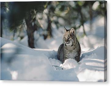 Bobcat Lynx Rufus Adult Resting In Snow Canvas Print by Michael Quinton