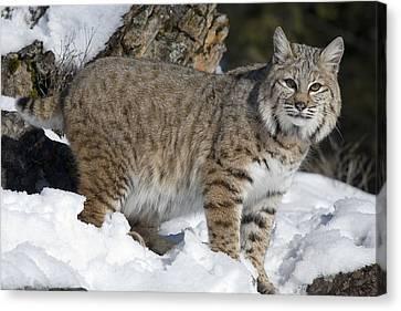 Bobcat Lynx Rufus In The Snow Canvas Print by Matthias Breiter
