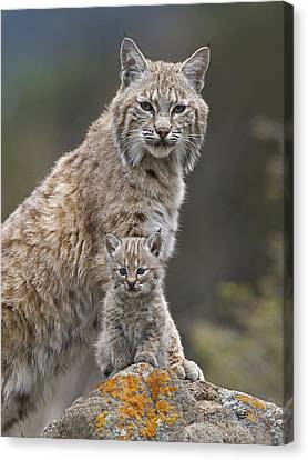 Baby Bobcat Canvas Print - Bobcat Mother And Kitten North America by Tim Fitzharris