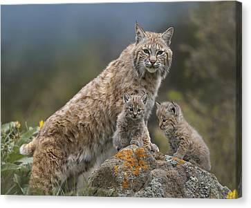 Baby Bobcat Canvas Print - Bobcat Mother And Kittens North America by Tim Fitzharris