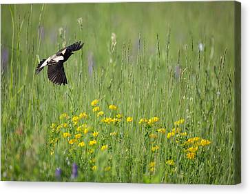 Bobolink In Paradise Canvas Print by Bill Wakeley