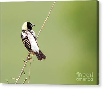 Canvas Print featuring the photograph Bobolink Looking At You by Ricky L Jones
