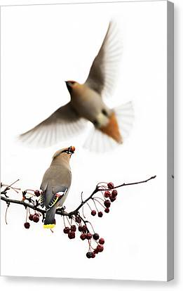 Canvas Print featuring the photograph Bohemian Waxwings by Mircea Costina Photography