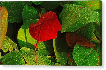 Bold Red Sea Grape Leaf Canvas Print