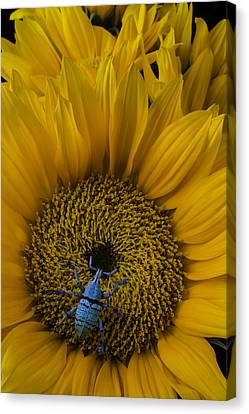 Boll Weevil On Sunflower Canvas Print by Garry Gay